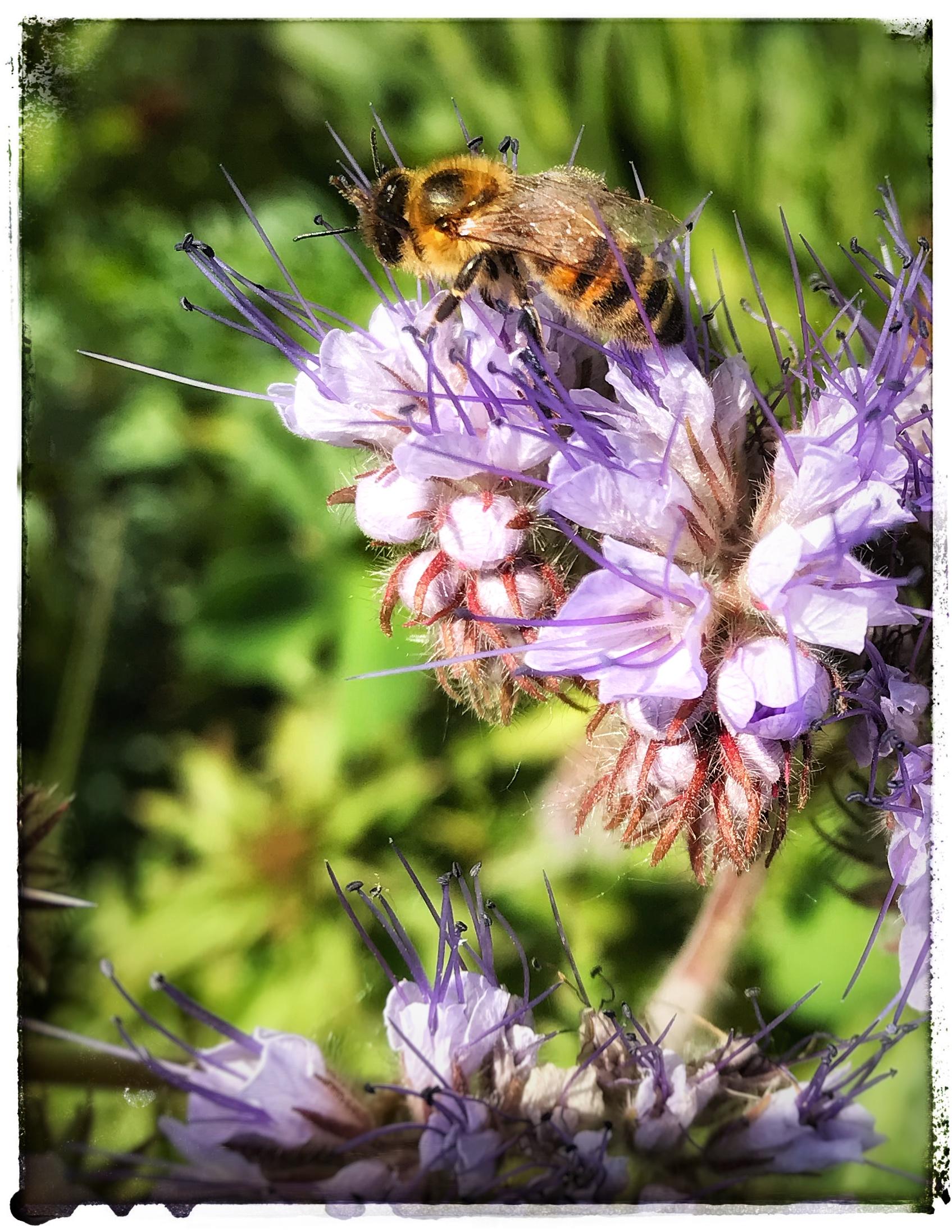 Bienchen auf einer Phacelia-Blüte