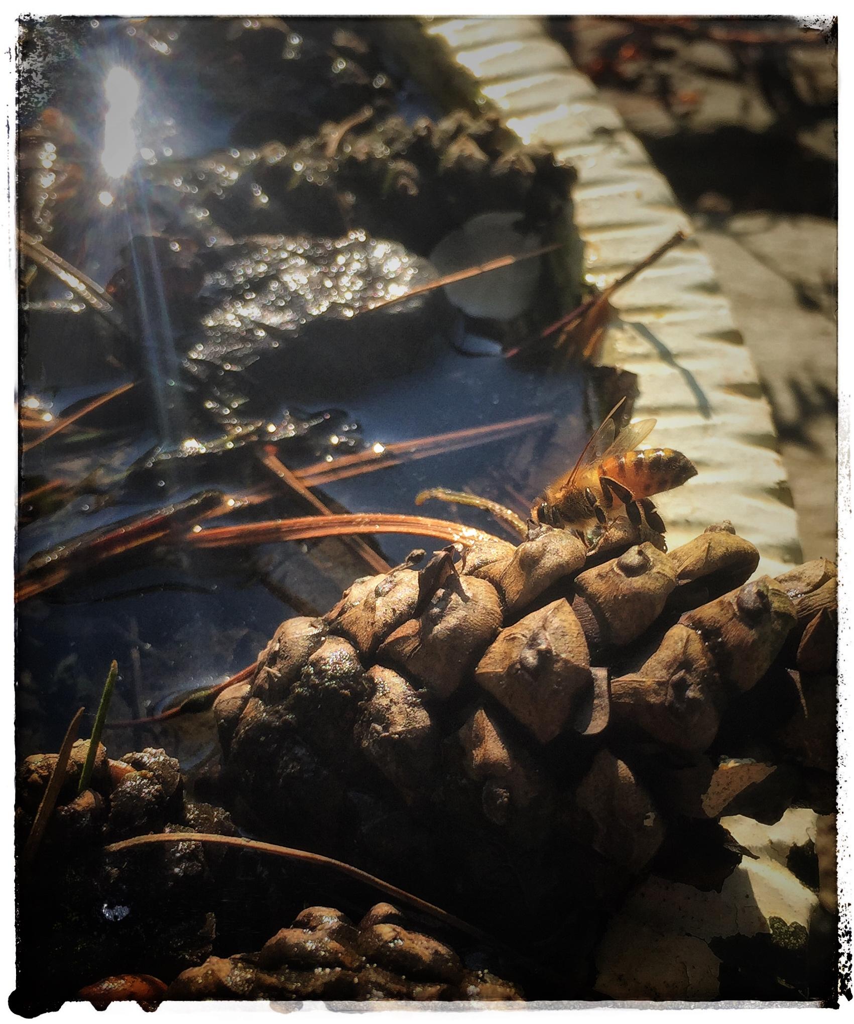 Bienchen an der Wassertränke
