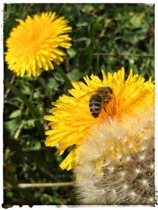 Löwenzahn-Blüten stehen hoch im Kurs bei den Bienen
