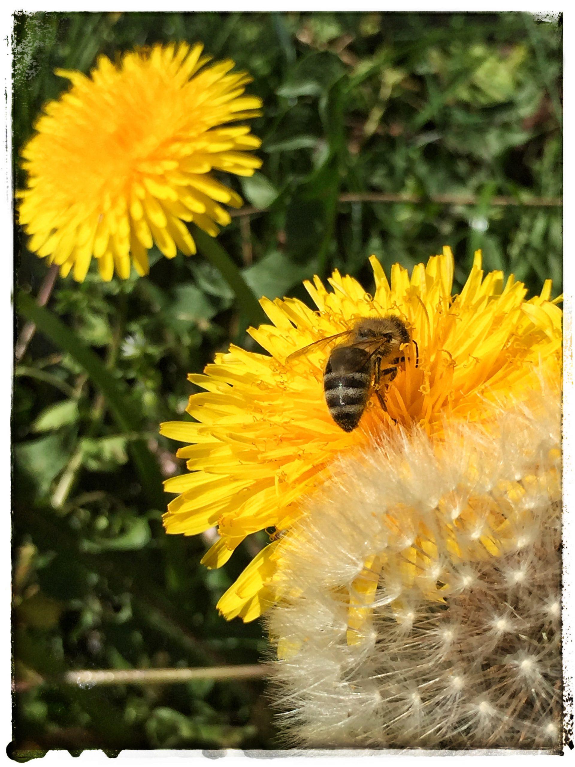 Bienchen auf Löwenzahnblüte