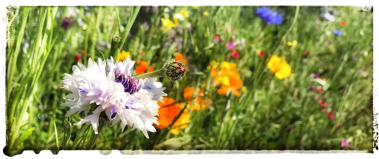 Blumenwiese mit Kornblumen im Wonnemonat Mai